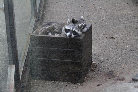 箱に入って寝るアライグマ。