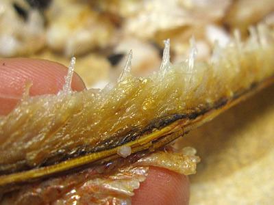 背中に沿って骨が生えた部分を、骨ごとよく噛まずに食べたのが敗因。