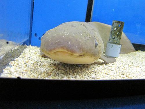 海外の魚も多数。まぬけな顔が尋常でなくかわいいネオケラトドゥスという魚。