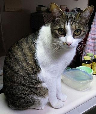 【参考】 うちの実家の猫。たしかに耳が大きくて先がとがってる。