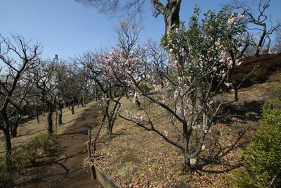梅ヶ丘というだけあって、園内には梅の木がたくさん