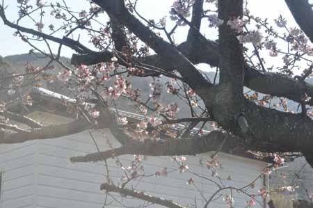 もう桜が咲いていた。