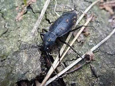これはクロナガオサムシという種類。真っ黒で地味だが大型で迫力がある。