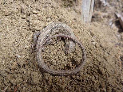 トカゲの一種、ニホンカナヘビ。