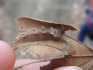 オサ掘りの後に国蝶オオムラサキの幼虫を観察しに行った。落ち葉の裏で寒さに耐えておりました。