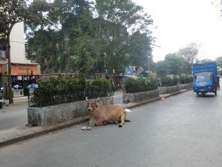 牛はムンバイでも道路にはいる。
