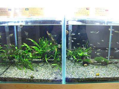 売り物の魚の水槽にも水生のシダを植え付けた流木があしらわれていた。