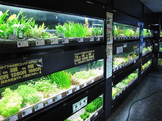 ずらりと並ぶ販売用の水草たち。