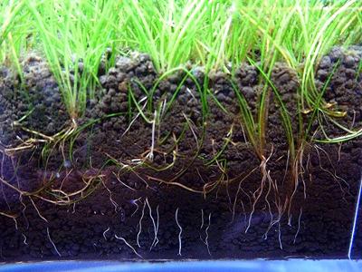 水草を育てるときは砂利ではなく、粒状の土を使うことが多い。たしかに砂利に根を張る植物なんてあんまり聞かないもんね。