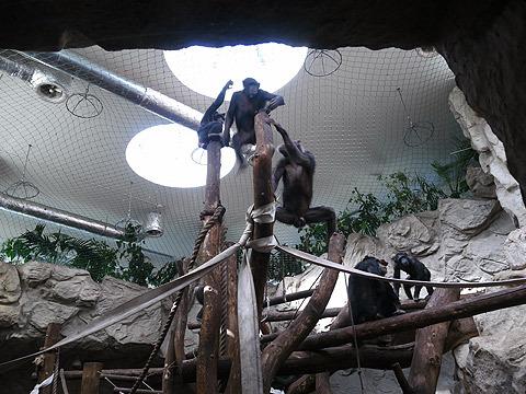 遊ぶチンパンジー