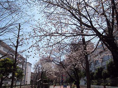 桜は今週末が見ごろだそうだ