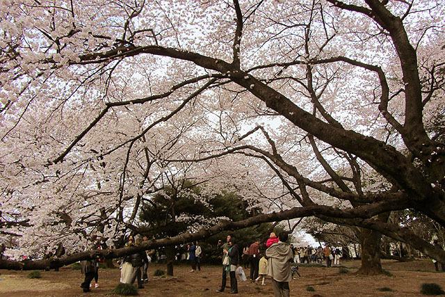 桜の木は大きく立派。枝が低いので花を近くに見られます。