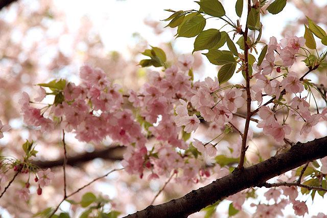 葉っぱが出てきても花は満開。