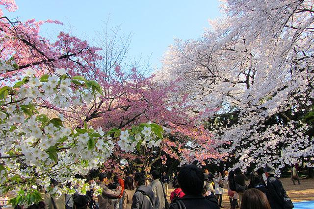 様々な桜が一同に会するのが新宿御苑のすごいところ。