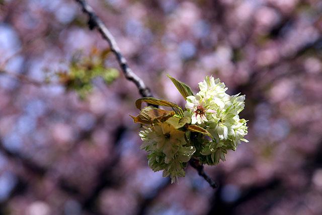 緑色が混じった桜もある。