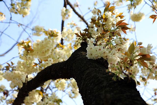 クリーム色の桜もあったりする。かわいい。