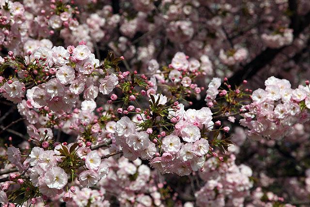 八重桜はソメイヨシノより咲くのが遅くて花が長持ちするので花見の予定を立てやすい(ピンポイントに満開を狙わなくてもいい)。