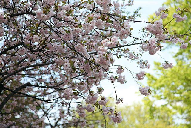 桜は結構咲いていた。