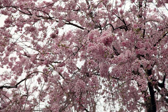 皇居、乾門辺りの桜。