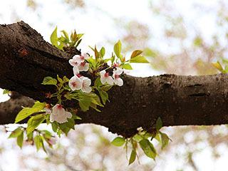 僕は少し葉っぱが出てる桜が好きなんですよ。緑がピンクを映えさせると思う。