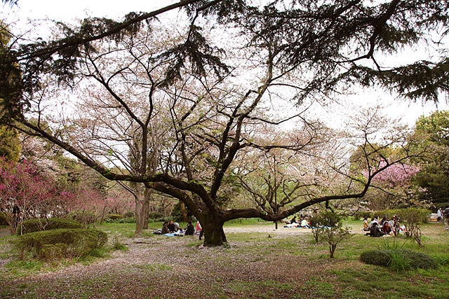 こんな大きな桜の木もある。ほとんど散ってたけど。