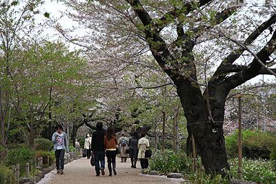 桜並木を歩くという花見。