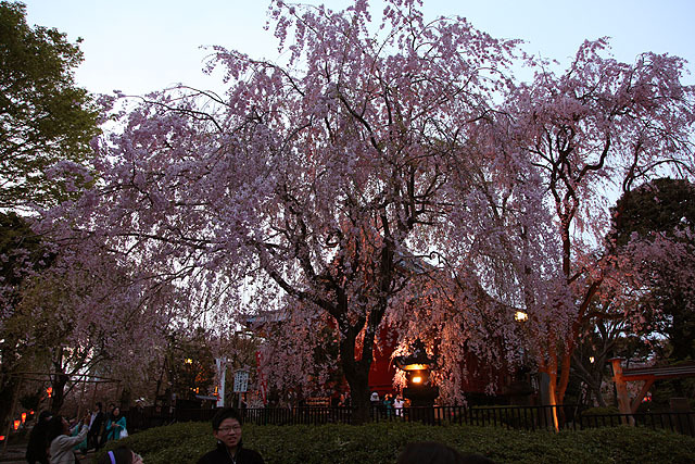 夕方の桜も綺麗ですな。
