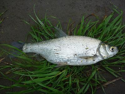ワタカと言う魚。いかにも川魚といったシンプルかつ味わい深い見た目。
