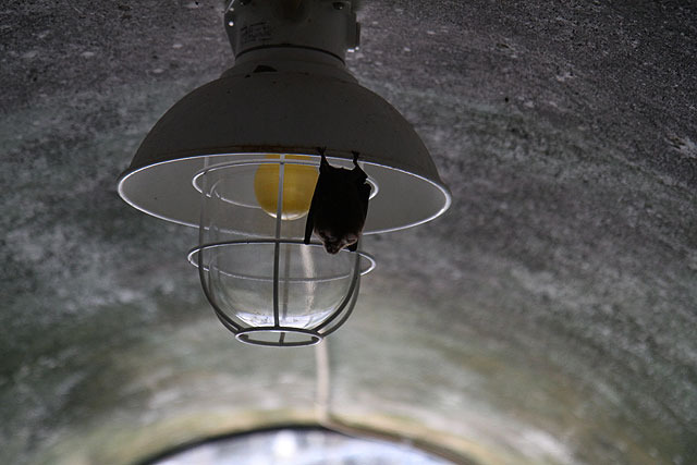 コウモリからしたら逆に、突然入ってきた人間にびっくりしただろう。出口付近まで逃げてきていた。