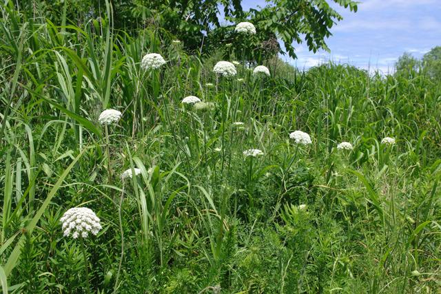 白い半球状の花が目印!