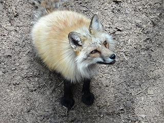 狐だけれど虎視眈々