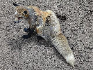 この姿も狐らしい