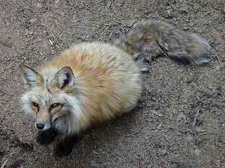 こちらもまた狐ならではの形