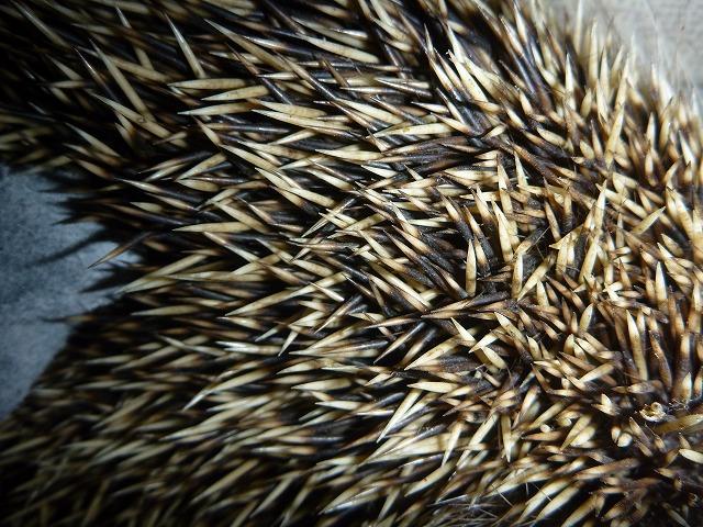 体毛(針)を拡大。これはちょっと素手では触れない。怪我するだろうし、野生動物は雑菌が怖い。