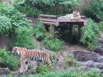 虎ゾーンでした