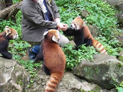 しかし結局笹はそっちのけで、飼育員さんの手から直接リンゴを食べるレッサーパンダ(やっぱりかわいい)