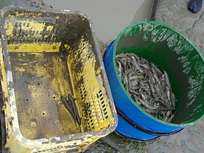 池田さんの釣果と比べると悲しくなるけど、釣ったという事実が大事。