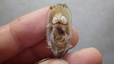 メカジャの中身はこんな感じ。確かにアサリなどの二枚貝とは全然違う。