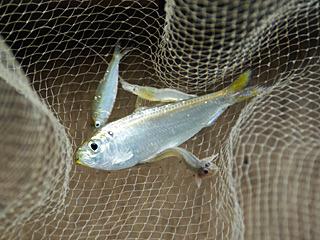 コノシロという魚にハゼ、そしてシラタエビなどが捕れた。もう何が捕れても楽しい。でもムツゴロウ捕れないかなー。