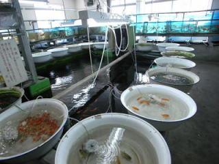 様々な種類の金魚を販売している