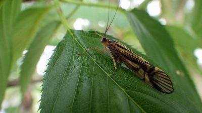 川沿いに大量に飛んでいたオオシマトビケラという昆虫。顔がかわいい。