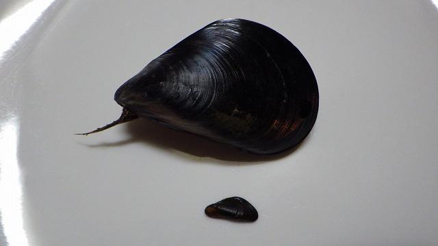 上が本物のムール貝ことムラサキイガイ。下がカワヒバリガイ。