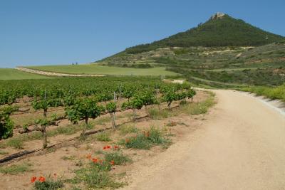 背の低い、ワイン用のブドウ畑だ