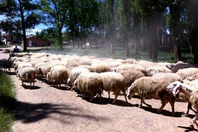 途中の村では羊がもうもうと砂煙を立てていた