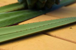 タコノキの葉の鋸歯は茶色く大きめ