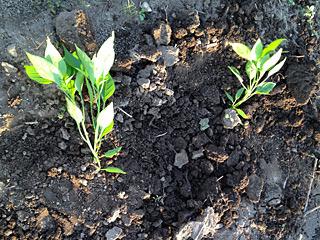 近所に借りている畑へ。この時期は風が強く、ポット育ちの苗がちゃんと根付くかちょっと心配。