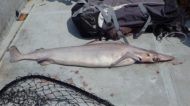 一般的にイメージされるサメのフォルムとは一線を画した体躯。