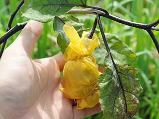 全体を糠味噌と油紙で包み、輪ゴムで縛る。