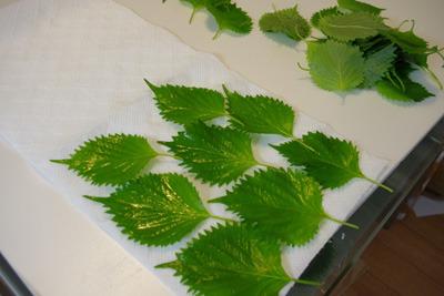 バジルの葉の水をよく吸い取ります(青じそで代用)