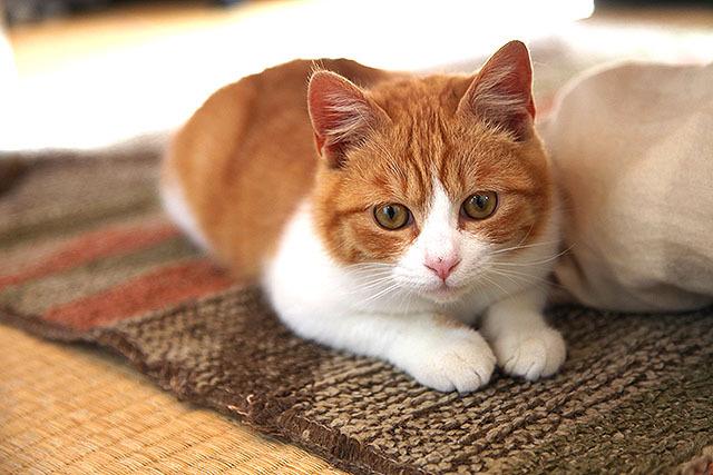 うちの飼い猫B、じゃんけん。つい写真の大きさでヒイキしてしまった。なお、見た目は可愛いが性格は割りと粗暴。